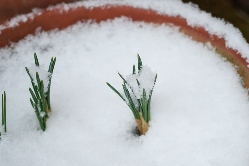 Snow on green crocus shoots