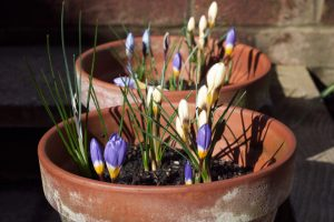 Purple crocus in the sun