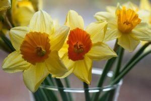 Daffodils with orange centre