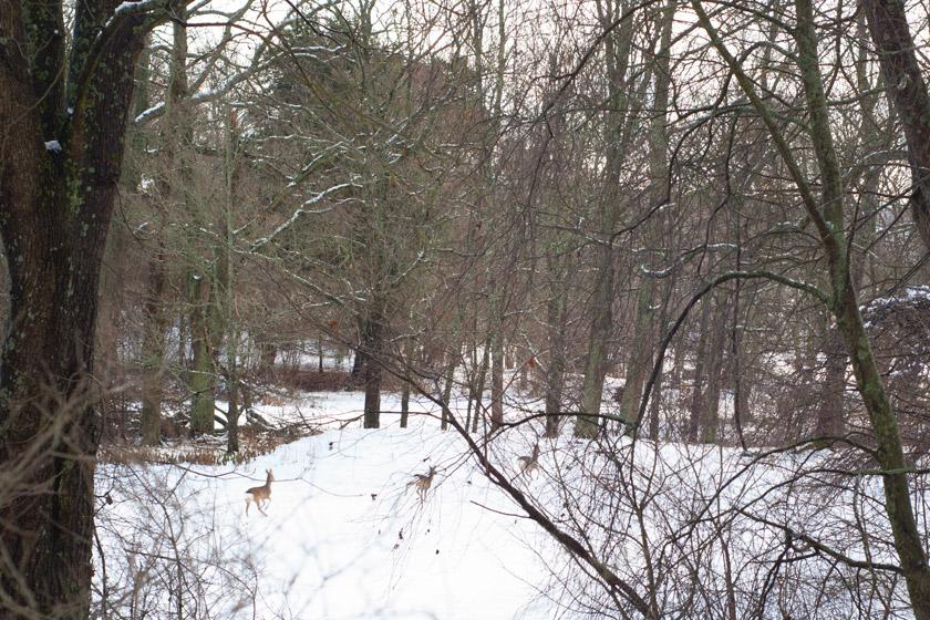 Deer running in snow