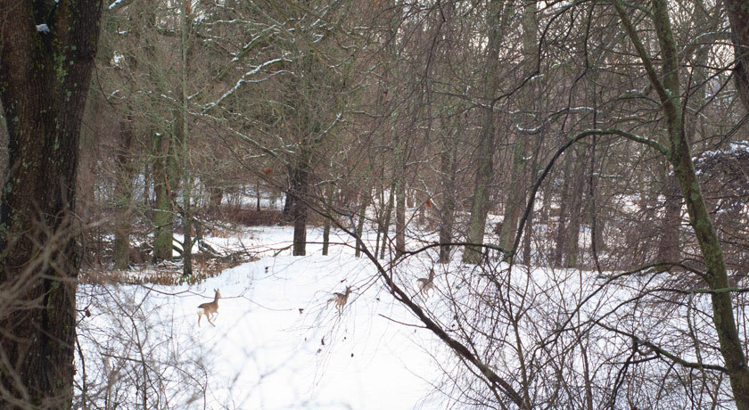 Deer running in snowy woods