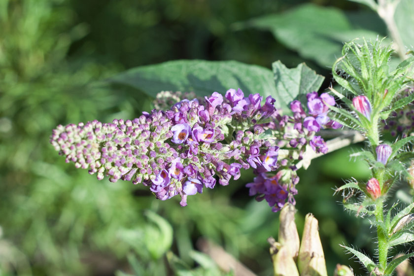 Purple buddleia flowers