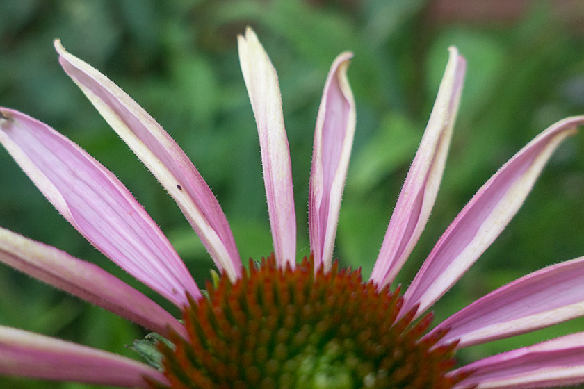 Pale pink echinacea petals