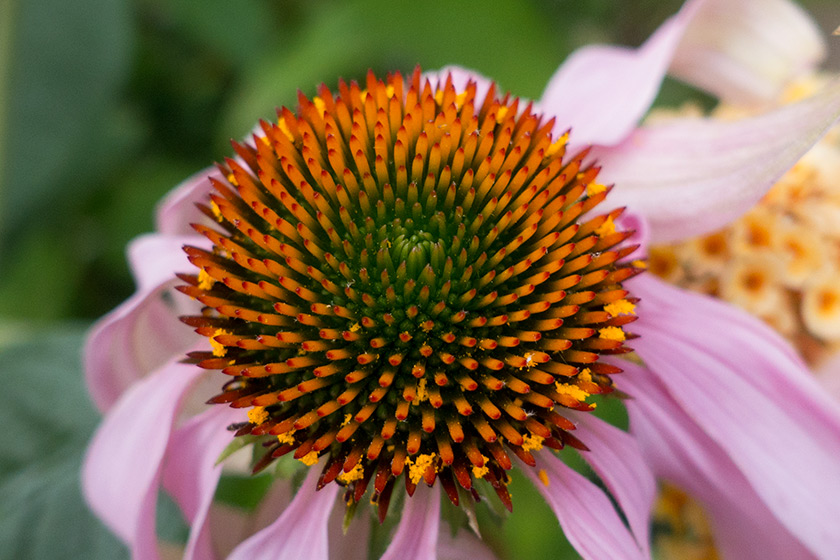 Orange echinacea cone