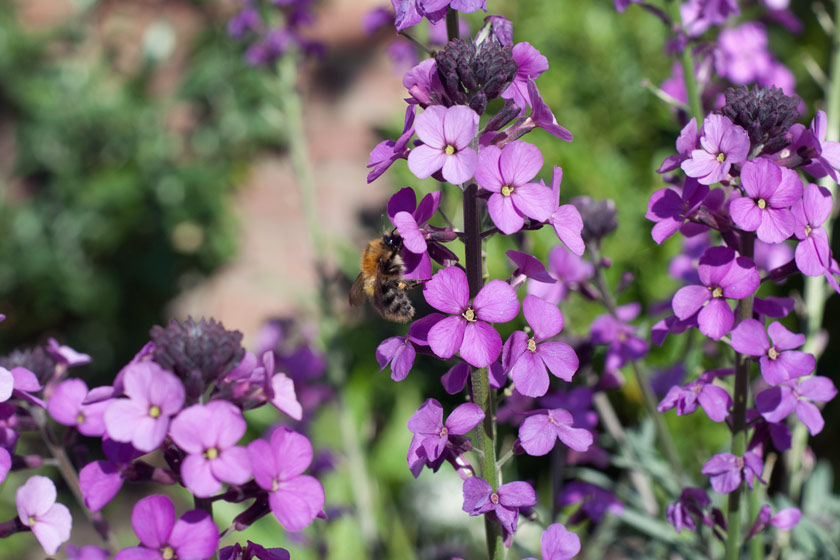 Bee on Erysimum flowers