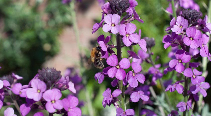 Purple erysimum flowers