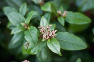 Small pink flower buds