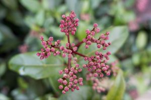 Pink clusters of flower buds