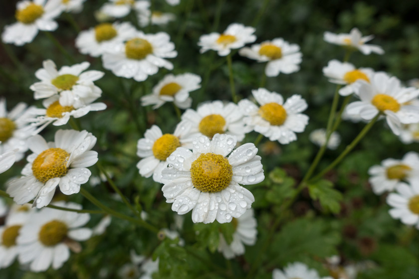 blog-feverfew-drop