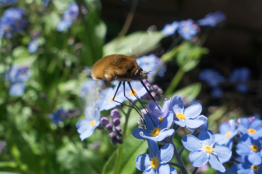 Fly bee on forget-me-not
