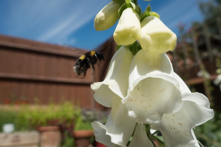 Bee near foxglove