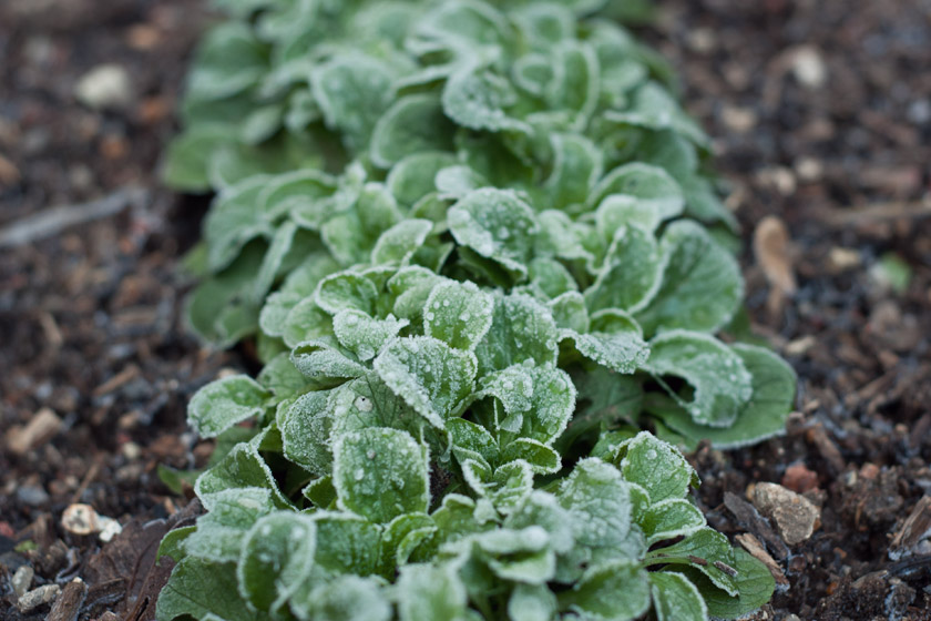 Frosty lamb's lettuce plants
