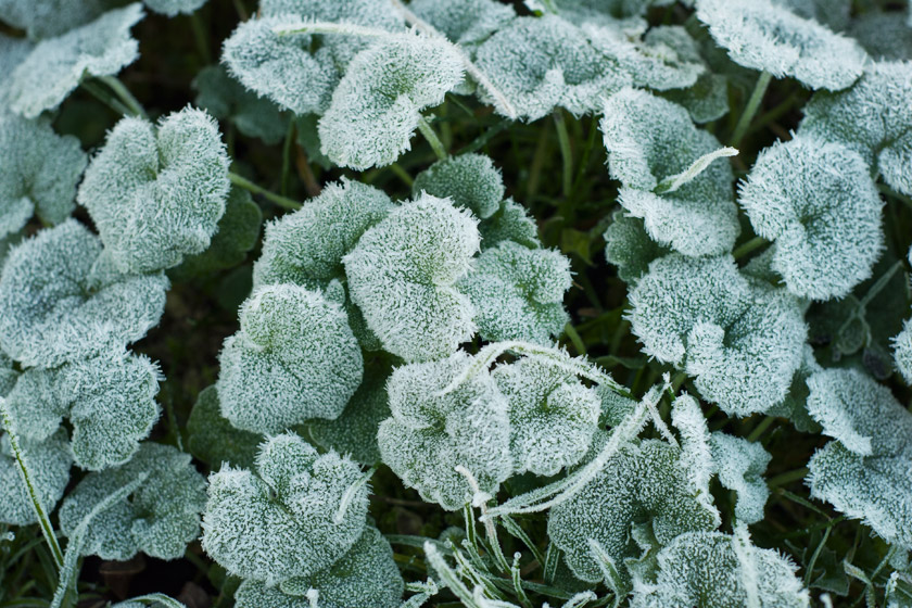Green leaves covered in frost
