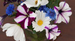 Petunia and Cosmos