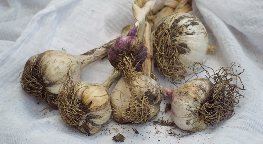 Bunch of garlic covered in soil