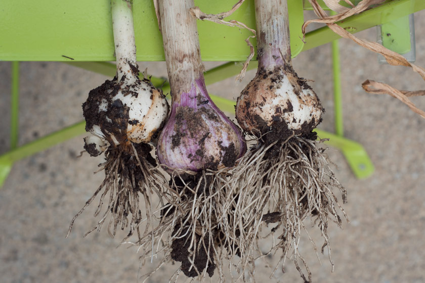 Garlic bulbs covered in soil