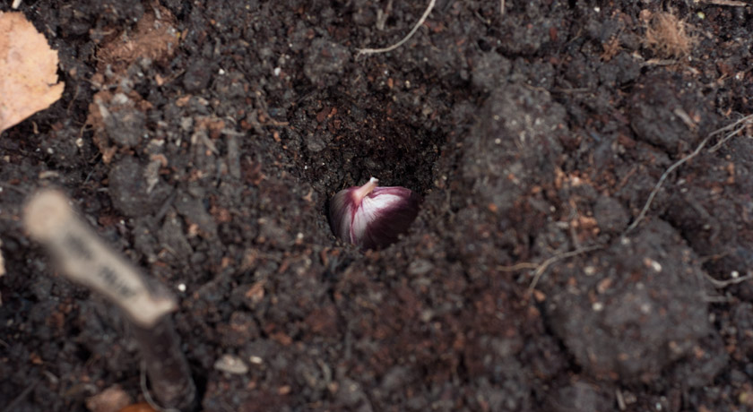 Garlic clove in the soil
