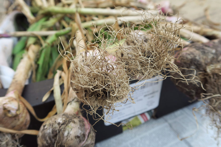 Closeup of garlic roots