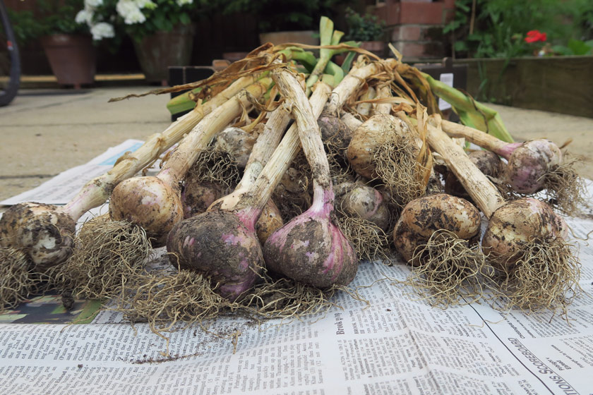 Heap of garlic on newspaper
