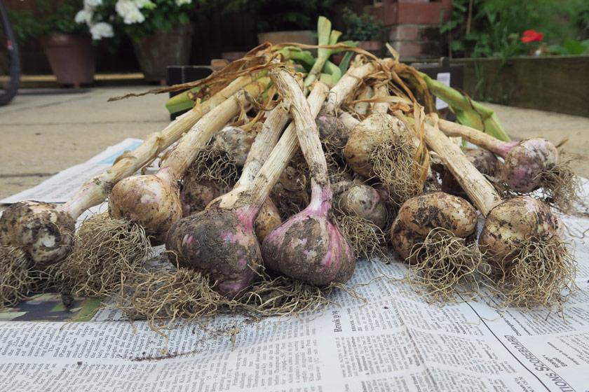 Heap of garlic on newspaper