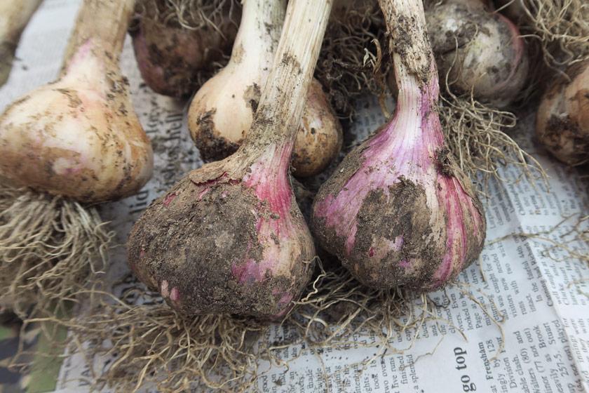 Garlic with pink tinge