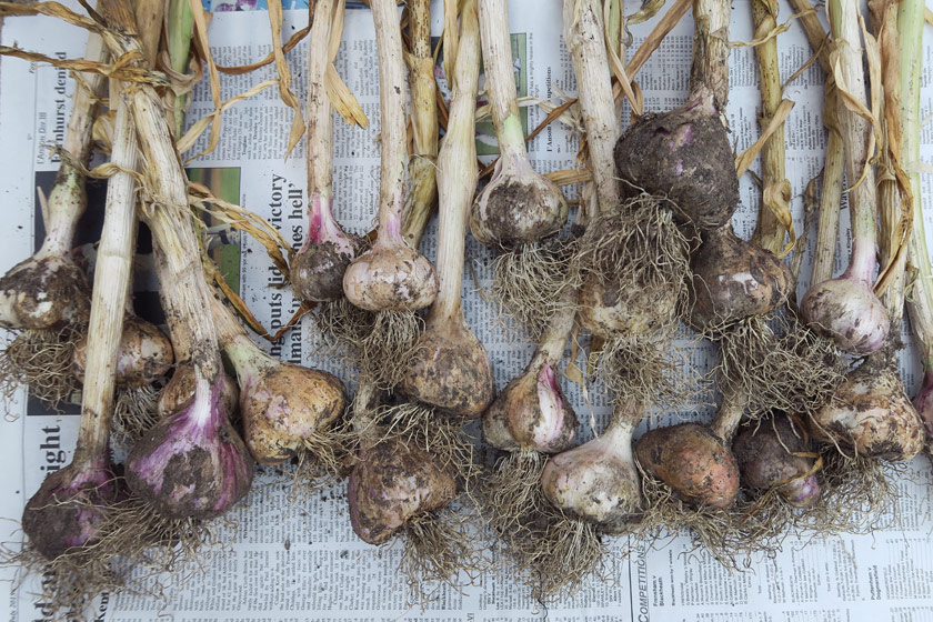 Varying colour of garlic bulbs