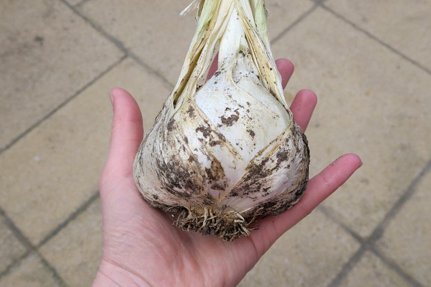 Giant garlic bulb in hand