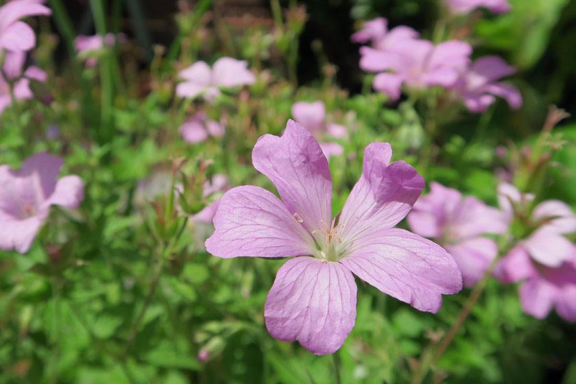 Pink geranium petals