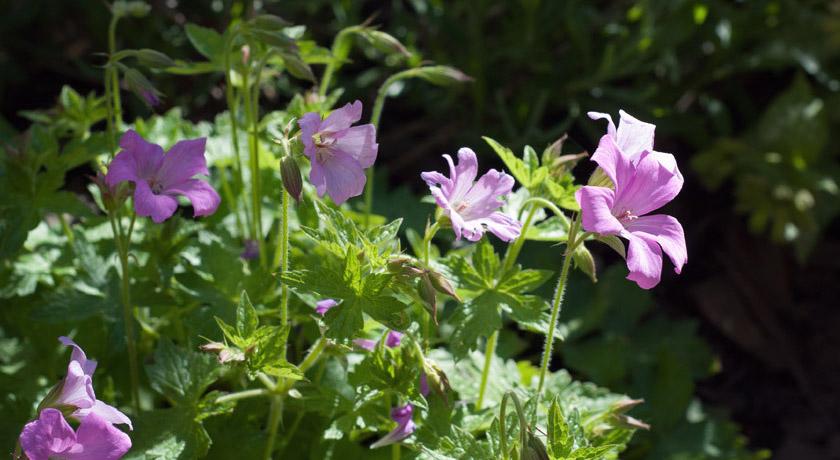 Pink geraniums in sun