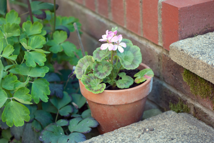 Geranium in terracotta pot