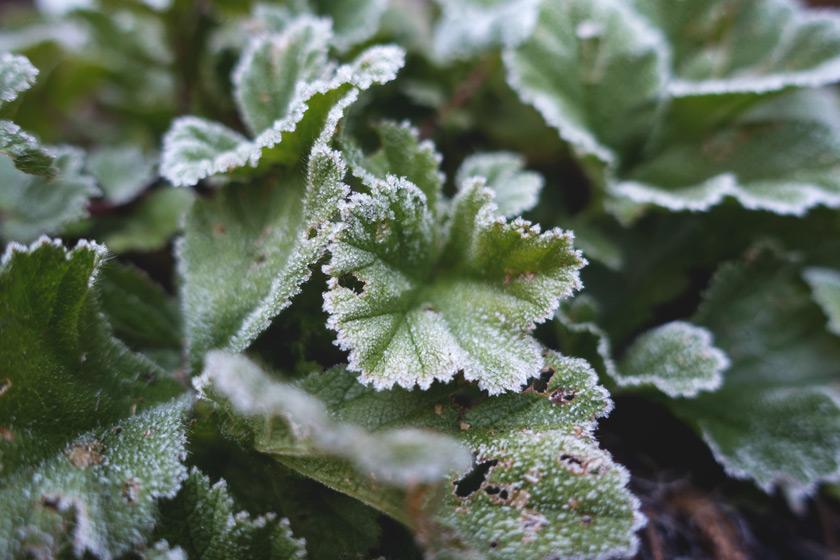 Frozen green leaves