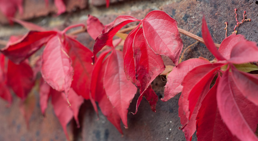 Red leaves on a wall