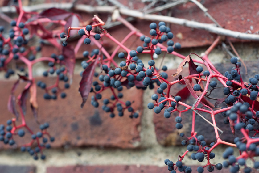 Black berries on wall