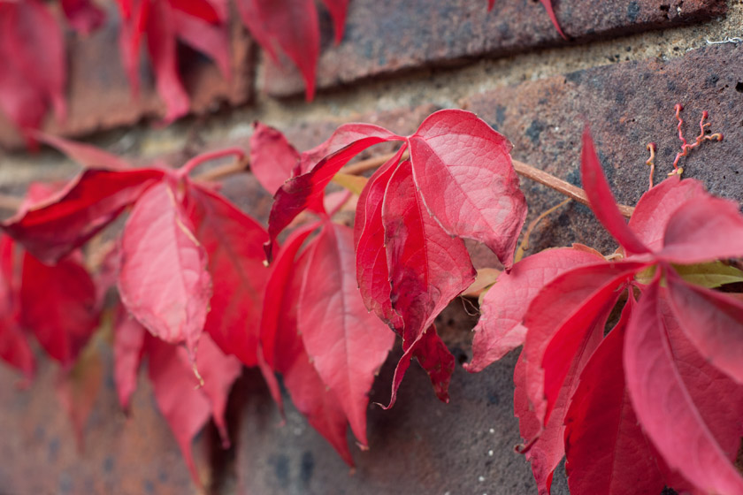 Red leaves on wall