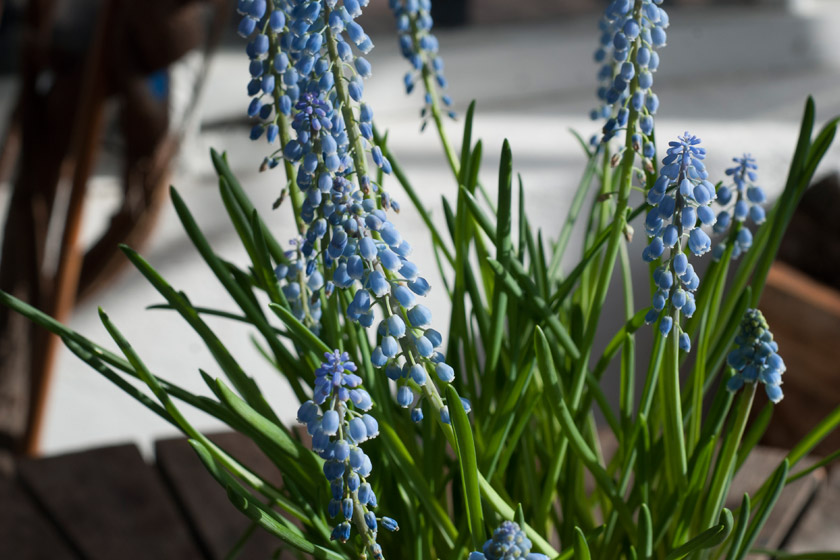 Grape hyacinth in the sun