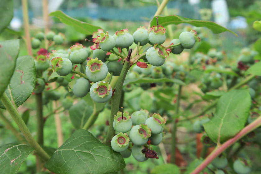 Green, unripe blueberries