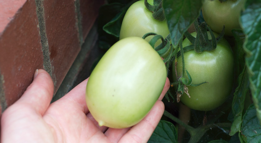 Green plum tomato