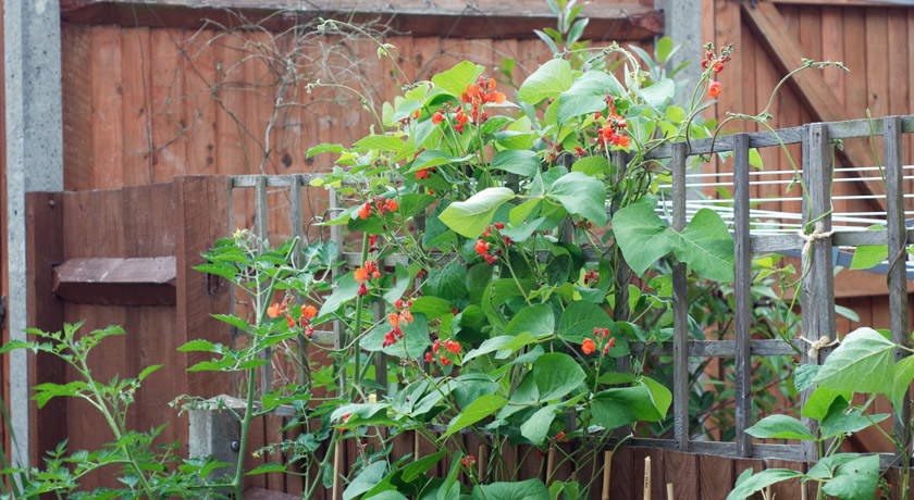 Mass of runner beans