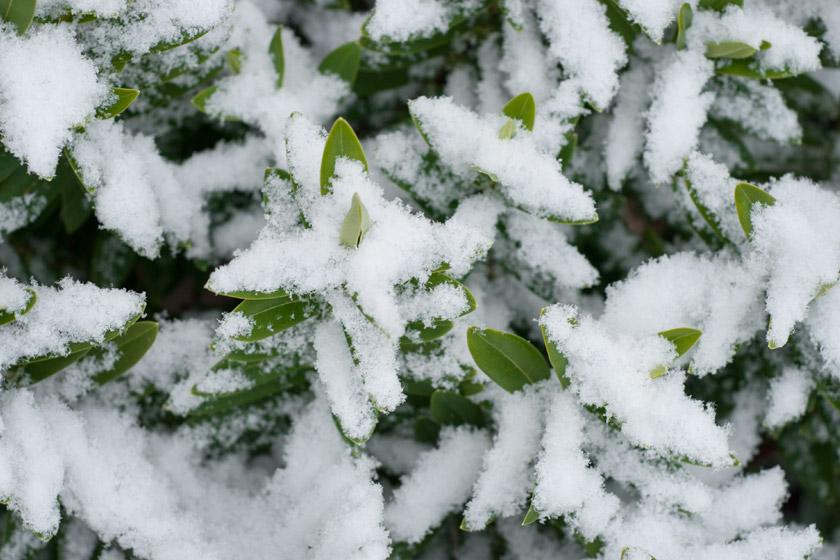 Bright green shrub leaves in snow
