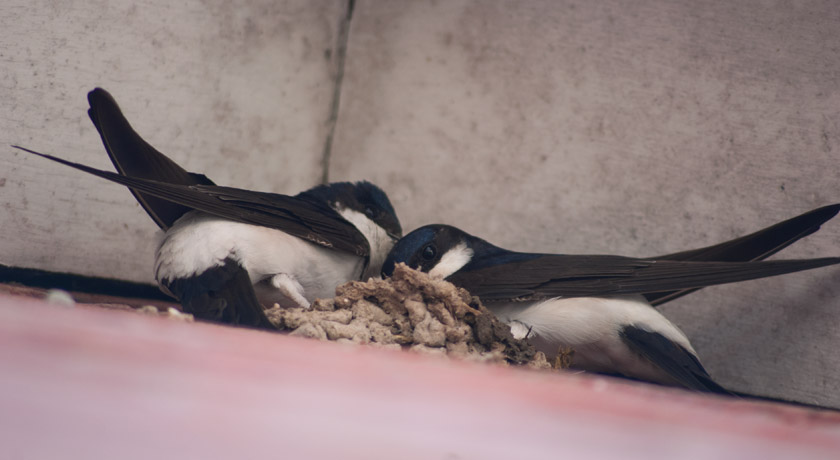 House martins building nest