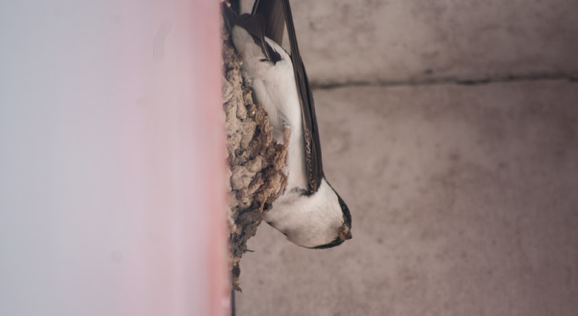 House martin on wall