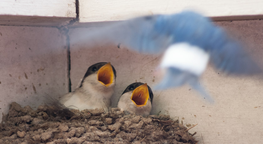 Young house martins with open mouths