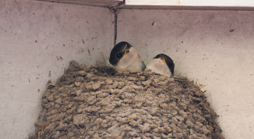 Young house martins in nest