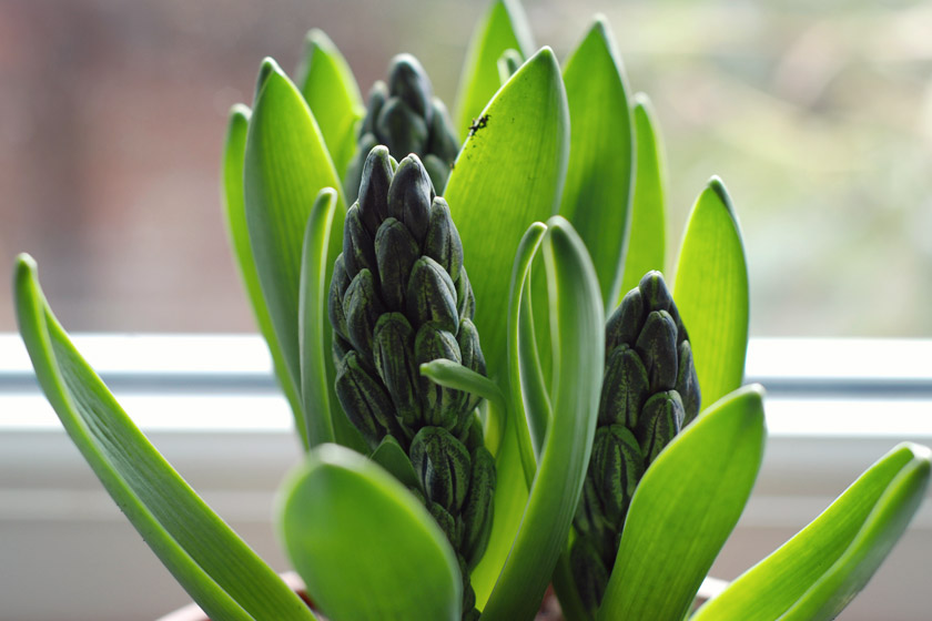Closeup of hyacinth buds