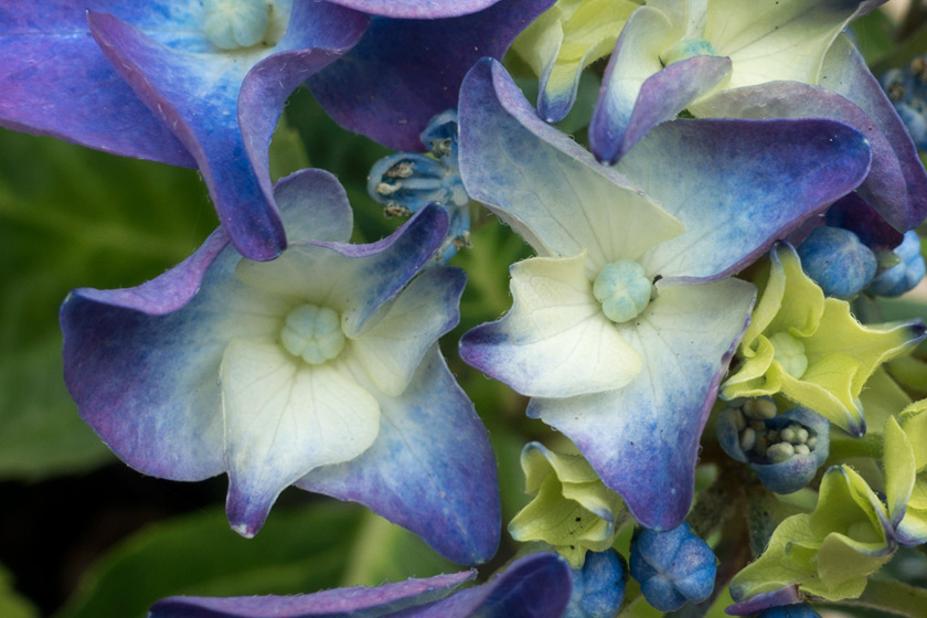 Blue hydrangea flowers