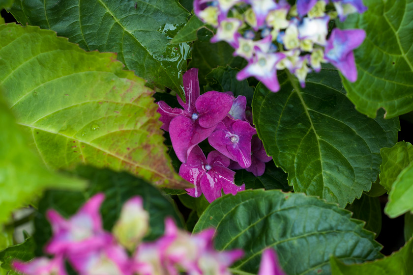 Hydrangea blooms in leaves