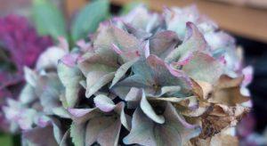 Multicoloured hydrangea