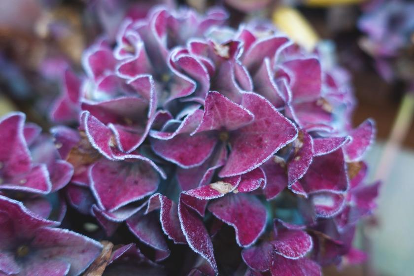Frosty hydrangea petals