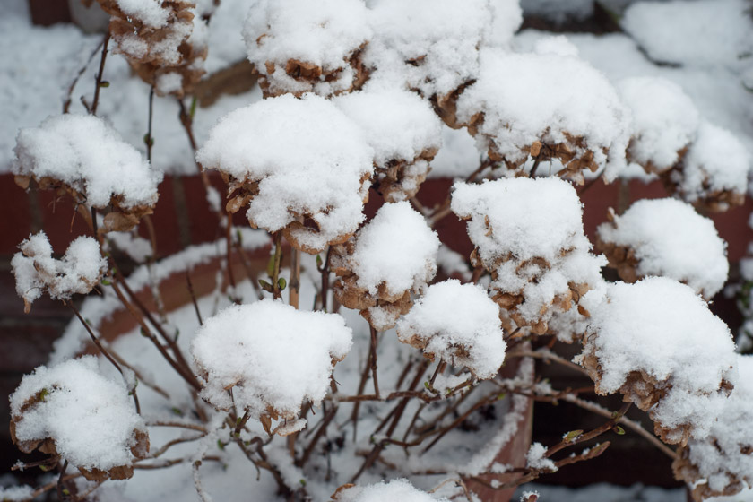 Snow covered hydrangea heads