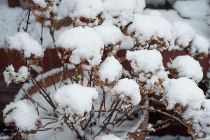 Snow covered hydrangea heads